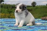 Picture of Bela Gorgeous F1 Blue Merle GIRL  Aussiedoodle