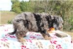 Picture of Queenie GORGEOUS Blue Merle Phantom doodle ready