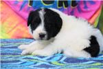 Picture of Bria gorgeous F1 Black white Phantom Aussiedoodle