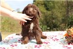 Picture of Fuji Flashy Choclolate White Phantom doodle Ready