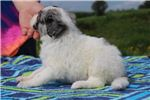 Picture of Bess Gorgeous F1 Blue Merle GIRL  Aussiedoodle