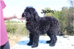 Picture of SHOTS DONE - JADEN F1 Black & white Aussiedoodle