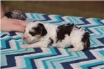 Picture of F1B Mikey PARTI Sable Phantom Toy Aussiedoodle