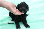 Picture of an Aussiedoodle Puppy