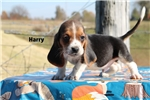 Harry Handsome Hound Home raised Tri color Boy | Puppy at 8 weeks of age for sale