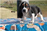 Riley Handsome Hound Home raised Tri color Boy | Puppy at 8 weeks of age for sale