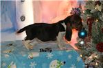 Picture of Shorty Handsome Hound Home raised Tri color Boy
