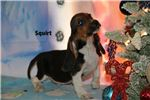 Picture of Squirt Handsome Hound Home raised Tri color Boy