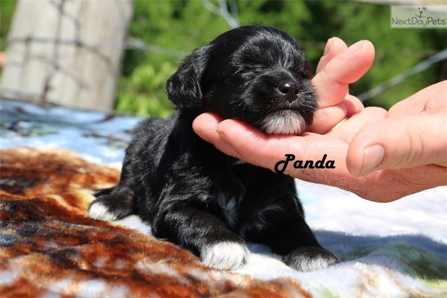 Yorkiepoo Yorkie Poo Puppy For Sale Near Jackson Tennessee
