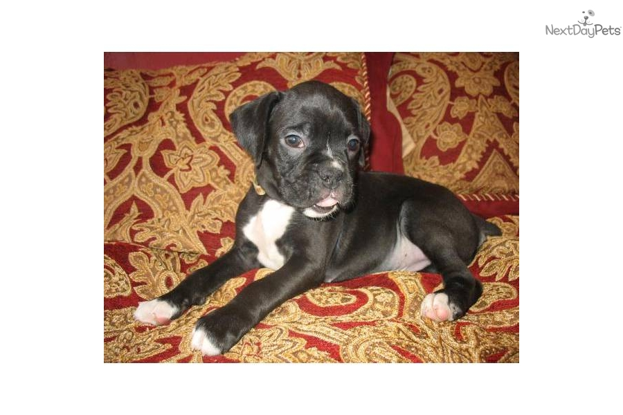 Puppies for sale quad cities