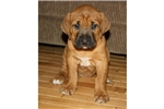Picture of Fawn Female Tosa Inu Pup