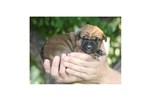 Picture of Red Female Tosa Pup