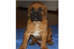 Picture of Red Male Tosa Pup