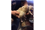 Picture of male spanish water dog puppy silver beige