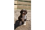 Picture of a Spanish Water Dog Puppy