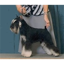 View full profile for Glojan Miniature Schnauzers