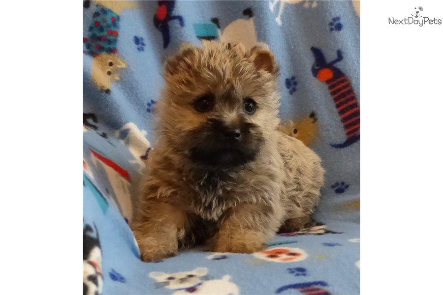 Sophie: Cairn Terrier puppy for sale near Kansas City