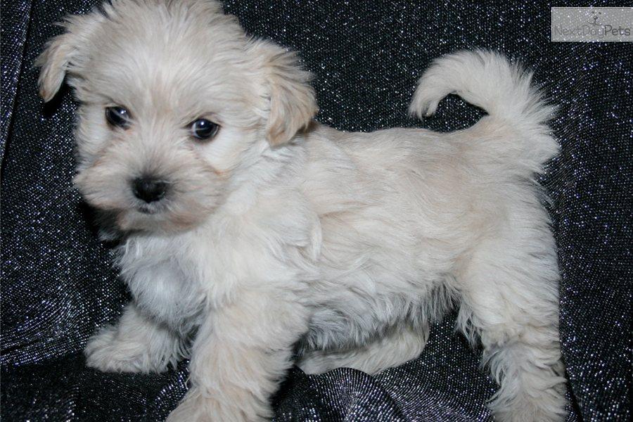 Malti Poo Maltipoo Puppy For Sale Near Kansas City