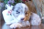 Picture of Perfect Blue Merle Male Aussie
