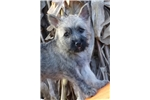 Picture of AKC Cairn Terrier female