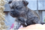 Picture of AKC Brindle male, very cute