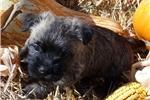 Picture of AKC Wheaten male