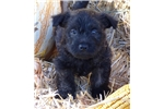 Picture of AKC black brindle male