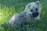 Picture of AKC Cairn Wheaten puppy