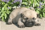 Picture of AKC cute wheaten female