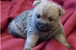 Picture of Nice AKC wheaten female