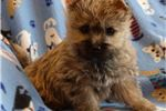 Picture of Very nice AKC wheaten Cairn female pup