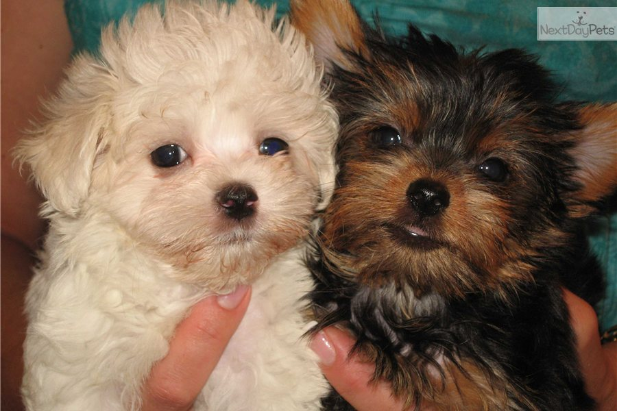 yorkie maltese puppy for sale puppies for sale from kaydee s maltese nextdaypets com 2852