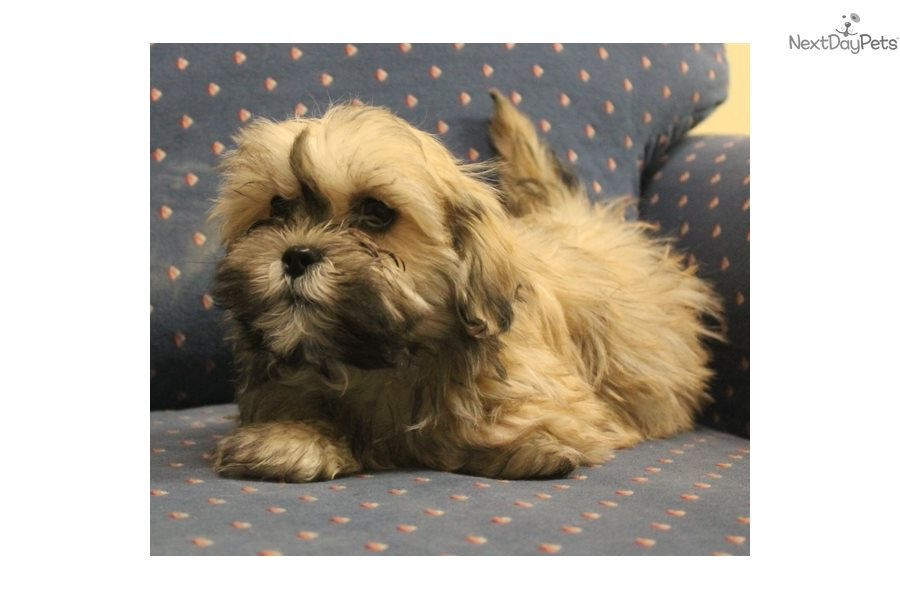 Boy B Shih Tzu Puppy For Sale Near Sioux City Iowa 73de7457 Ab41