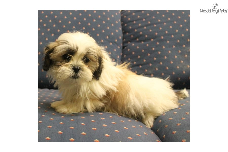 Boy A Shih Tzu Puppy For Sale Near Sioux City Iowa A4b4a9f1 12c1