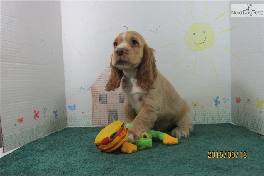 cocker spaniel for sale near me cocker spaniel puppy for sale near springfield missouri 2369