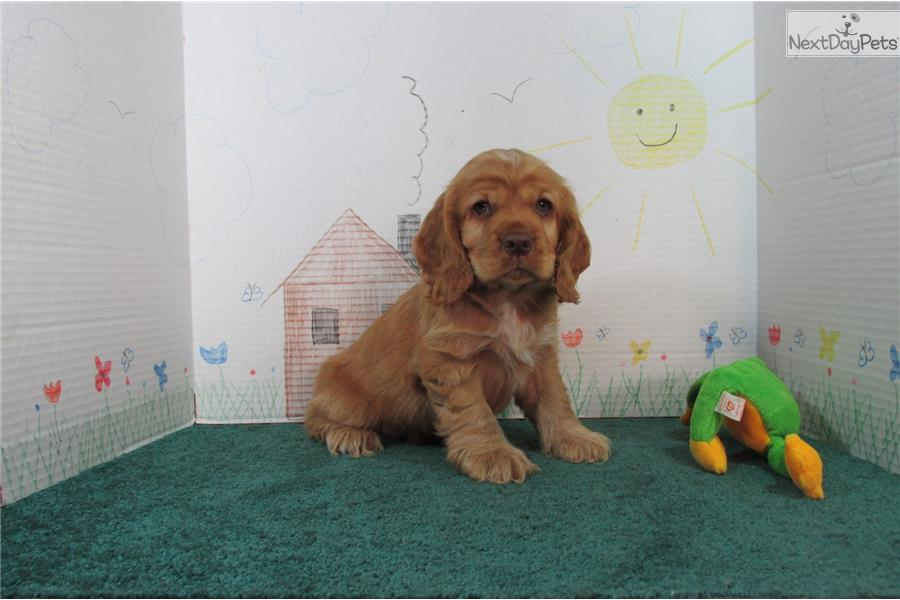 cocker spaniel for sale near me cocker spaniel puppy for sale near springfield missouri 1331