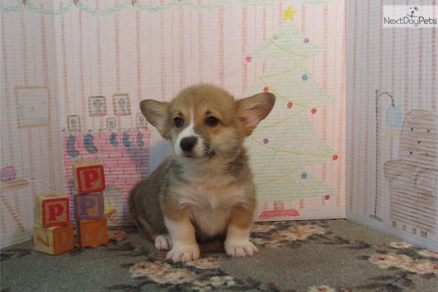 Cowboy Welsh Corgi Pembroke Puppy For Sale Near