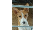 Picture of a Basenji Puppy