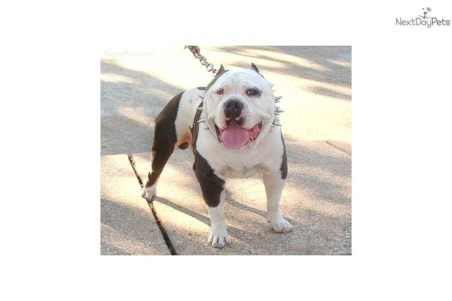 American Pit Bull Terrier Puppy For Sale Near Houston Texas E6351237 97c1