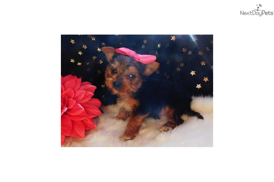 Summer: Morkie / Yorktese puppy for sale near Little Rock