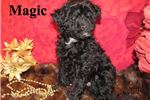 Picture of Magic the Bolonoodle