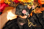Meet  Handsome the BoloNoodle | Puppy at 7 weeks of age for sale