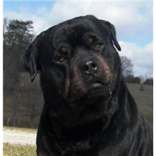 View full profile for Gregory's Rottweilers