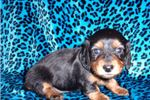 Picture of AKC Longhair Cutie