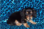 Picture of AKC Longhair Caden