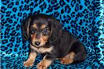 Picture of AKC Longhair Chevy