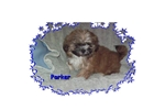 Picture of a Shih Tzu Puppy