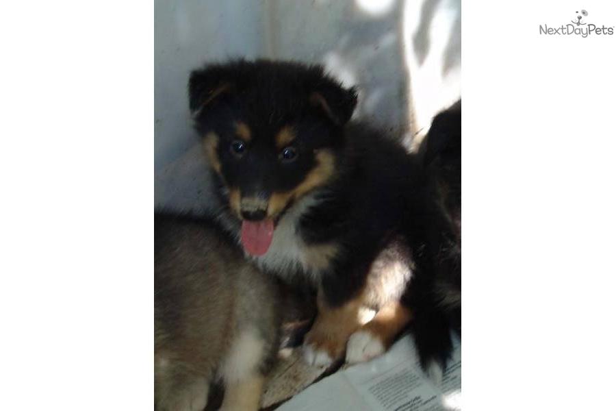 Siberian Husky puppy for sale near Fayetteville, Arkansas | e0fd70d3 ...