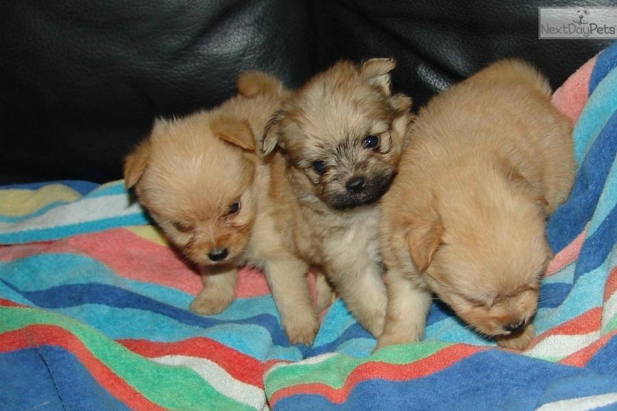 Porkies Yorkiepom Yorkshire Terrier Yorkie Puppy For Sale Near
