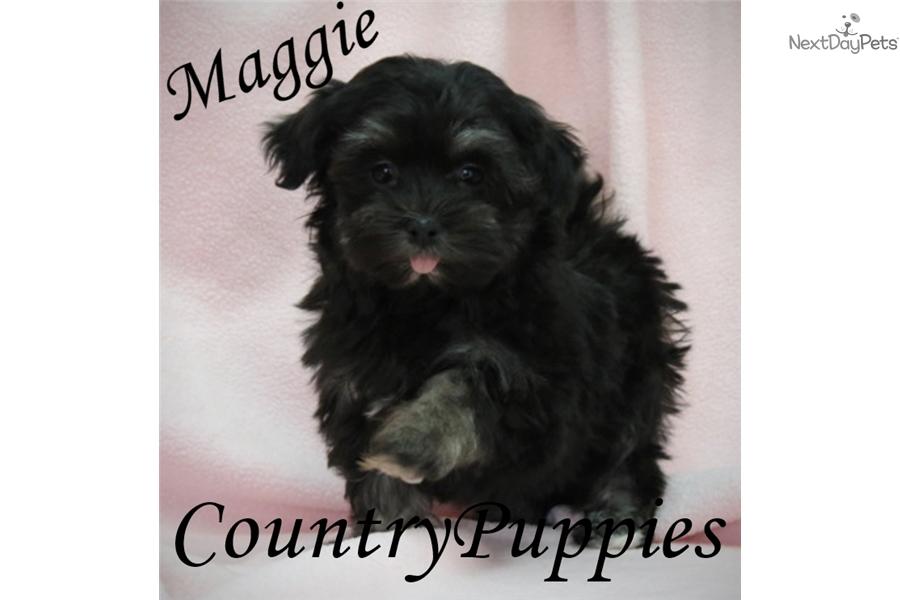 Maggie Havanese Puppy For Sale Near Fort Dodge Iowa 1ff89efc 1c21